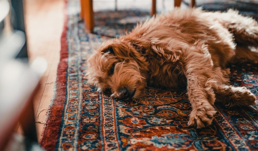 Brown dog sleeps on musty Persian rug in Denver-area home